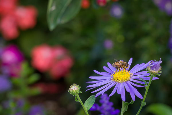 Bee & FLower Closeup